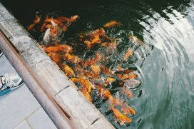 Fische im Teich des Kaiserpalasts