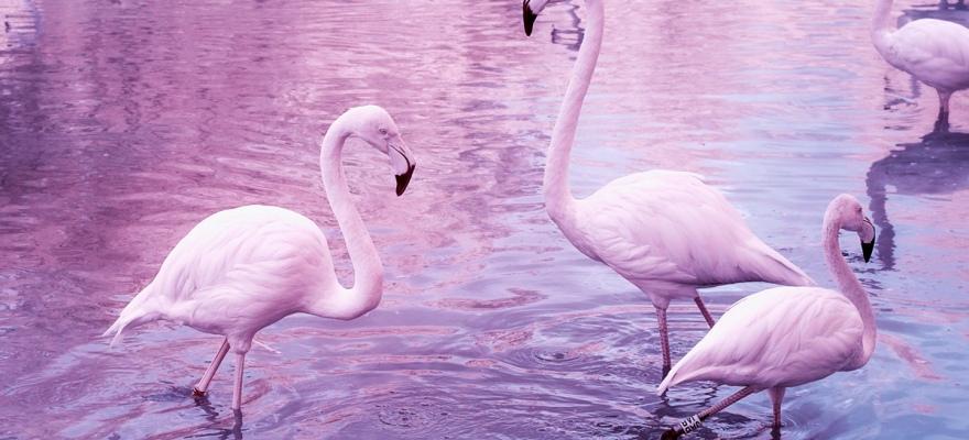 Mehrere Flamingos stehen im Wasser. Das Bild ist wegen infrarot rosa und ping eingefärbt.